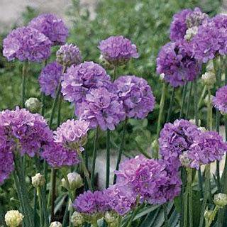 Ballerina Lilac Armeria Pseudoarmeria Sea Pinks Plant