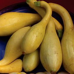 Summer Squash/Zucchini Early Golden Crookneck