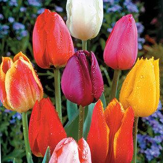 Giant Mix Tulip Bulb - Pack of 20