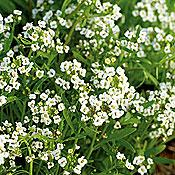 White Sweet Alyssum