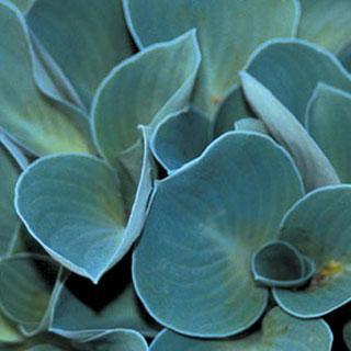 Blue Mouse Ears Hosta Plant