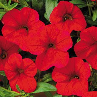 Calibrachoa MiniFamous™ Scarlet