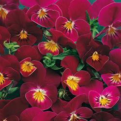 Viola x hybrida 'Rose Shades'