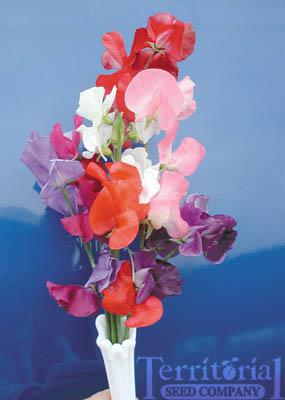 Sweet Pea-Mammoth Choice Mix