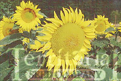 Sunflower-Sunseed