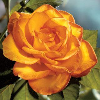 Sundance 24-inch Patio Tree Rose