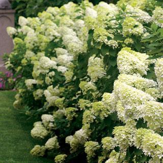Limelight Hydrangea Shrub