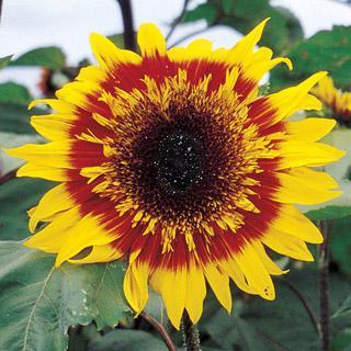 Sunflower-The Joker