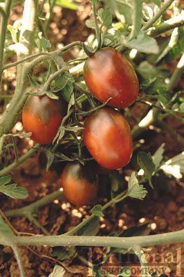 Black Plum Tomato Conventional & Organic