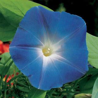 Morning Glory-Heavenly Blue