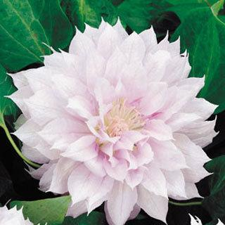Belle of Woking Clematis Plant