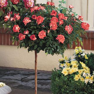 Bill Warriner 24-inch Patio Tree Rose
