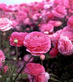 Pink Tecolote® Ranunculus - 10 bulbs