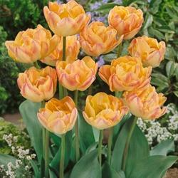 SOLD OUT Creme Upstar Double Late Tulip - 10 bulbs