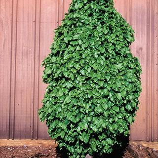 Monument Carpinus betulus Hornbeam Tree