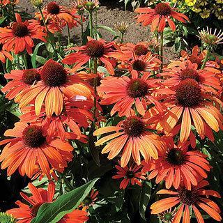 Julia Echinacea Coneflower Plant