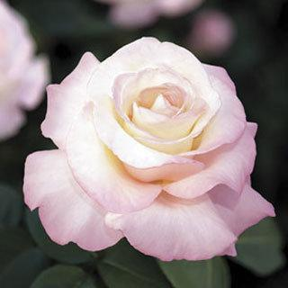 Crescendo™ Light Pink Hybrid Tea Rose