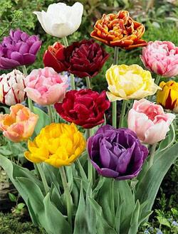 SOLD OUT Mixed Double Late Tulip - 10 bulbs