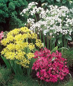 SOLD OUT Mixed Rock Garden Allium - 15 bulbs