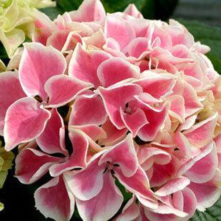 Edgy™ Hearts Hydrangea Plant
