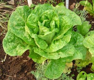 Lettuce, Jericho, Romaine