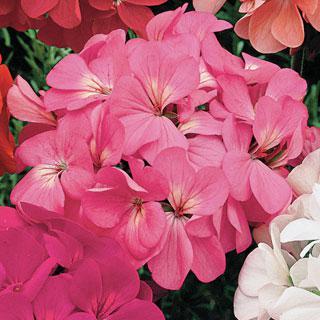 Geranium Orbit Pink