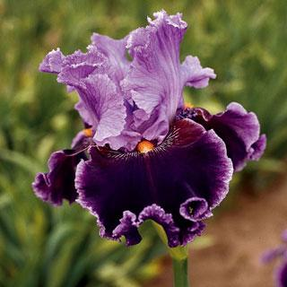 About Town Iris germanica Tall Bearded Iris Plant