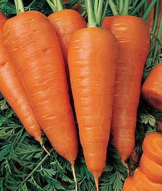 Carrot, Sweet Treat Hybrid