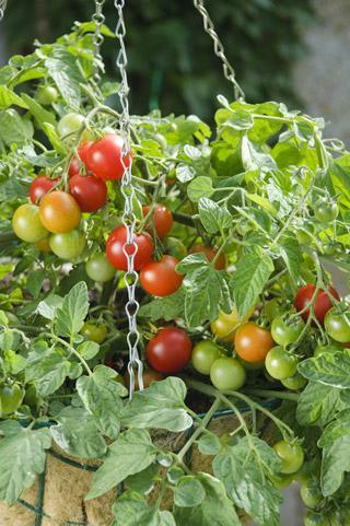 Tomato Terenzo Hybrid