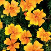 Tangerine Gem Marigold