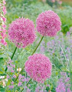 SOLD OUT Giganteum Allium - 3 bulbs