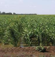 Sudangrass (Brown Mid Rib) (F1) (OG)