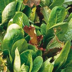 Mild Mesclun Mix Leaf Lettuce