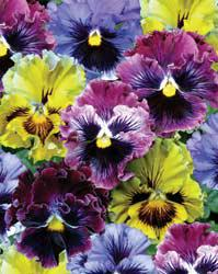 Pansy-Frizzle Sizzle Mix