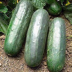 Eureka Hybrid Cucumber
