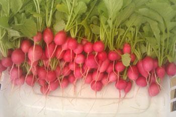 Radish, Pink Beauty