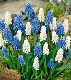 SOLD OUT Blue and White Magic Muscari - 10 bulbs