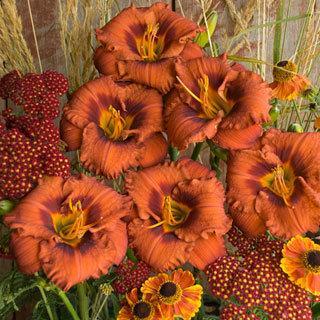 Mighty Chestnut Hemerocallis Daylily Plant