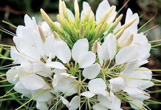 Spider Flower Sparkler White Hybrid