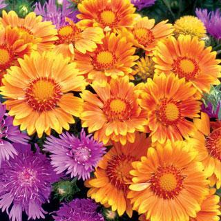 Blanket Flower 'Oranges and Lemons' PP#17,092