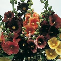 Hollyhock filicifolia 'Antwerp Mixed'