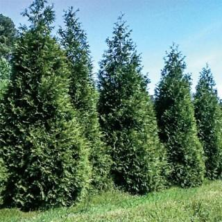 Steeplechase Thuja Hedge