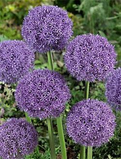 SOLD OUT Pinball Wizard Allium - 1 bulb