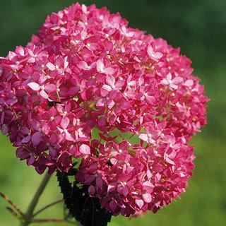 Invincibelle® Spirit Hydrangea arborescens Hydrangea Shrub