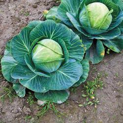 Fast Vantage Hybrid Cabbage