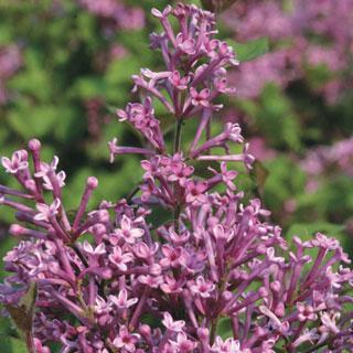 Bloomerang® Purple Syringa Lilac Shrub