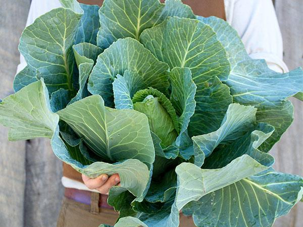 Henderson's - Charleston Wakefield Cabbage