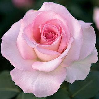 Pink Promise Hybrid Tea Rose