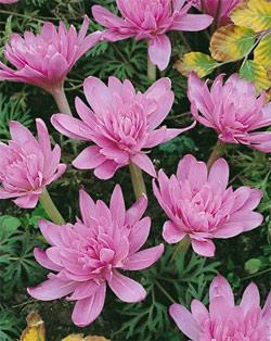 SOLD OUT Waterlily Colchicum - 5 bulbs