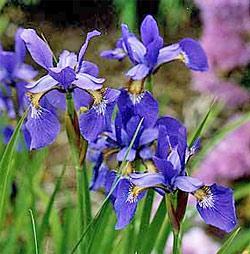 Caesar's Brother Siberian Iris - 3 root divisions